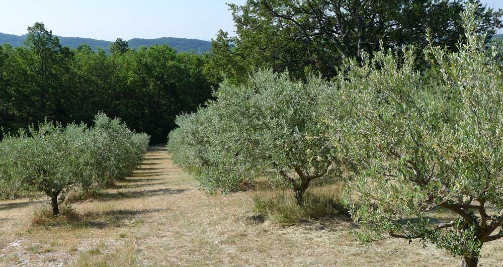 Olijfboomgaard Frankrijk